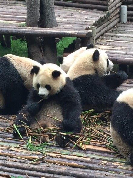 #cute #pandas
