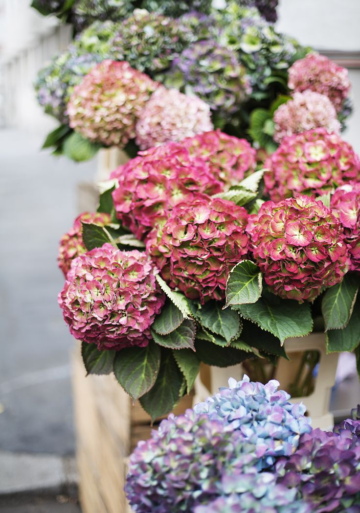 travel around west london with our fiat 500S | car inspiration | beautiful blooms | hydrangea season