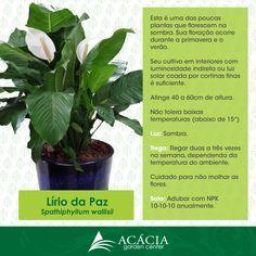 140110--lirio-da-paz-como-cuidar-acacia-garden-center-horto-chacara-plantas-rio-de-janeiro-rj