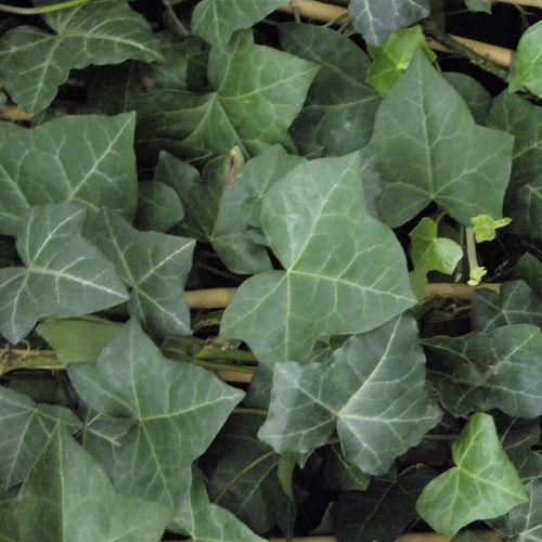 17 melhores ideias sobre plante rampante no pinterest couvre sol plantas cobertas no solo e - Lierre rampant couvre sol ...