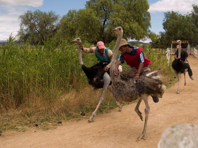 South Africa - Oudtshoorn Ostrich Farm
