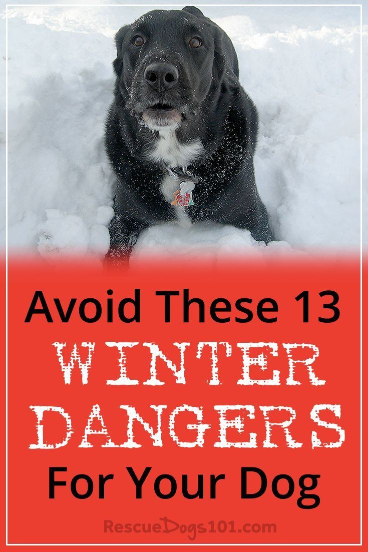 Avoid These 13 Scary Winter Dangers for Your Dog – Winter can be amazing... snowmen, sledding, hot cocoa... and your dog may love to play in the snow too! But be aware of these 13 scary winter dangers that can be deadly for your dog. These dangers are real and in the joy of the holiday season, you definitely don't want to be rushing your dog to the emergency vet. #petsafe #doggies #doglovers #dog #dogcare #doghealthtips #doghealth #doghealthwellness #dogstuff