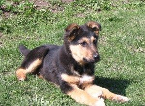 Learn everything you need to train YOUR German Shepherd from Ben on www.german-shepherd-obedience-training.com
