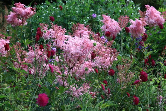 Filipendula rubra 'Venusta' (amerikanskt älggräs) och Knautia macedonica (?) (grekisk vädd)