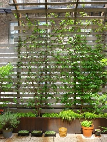 Climbing plants for terrace wall grow pinterest terrace lattices and plants - Pergola climbing plants under natures roof ...