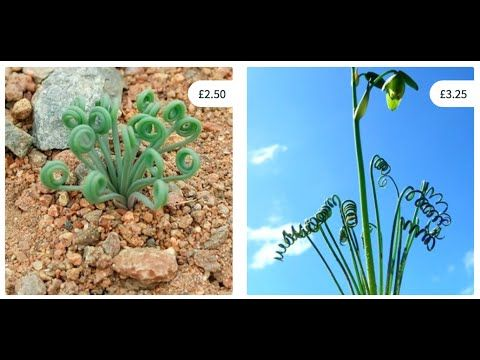 Albuca spiralis and Albuca namaquensis COMPARISON