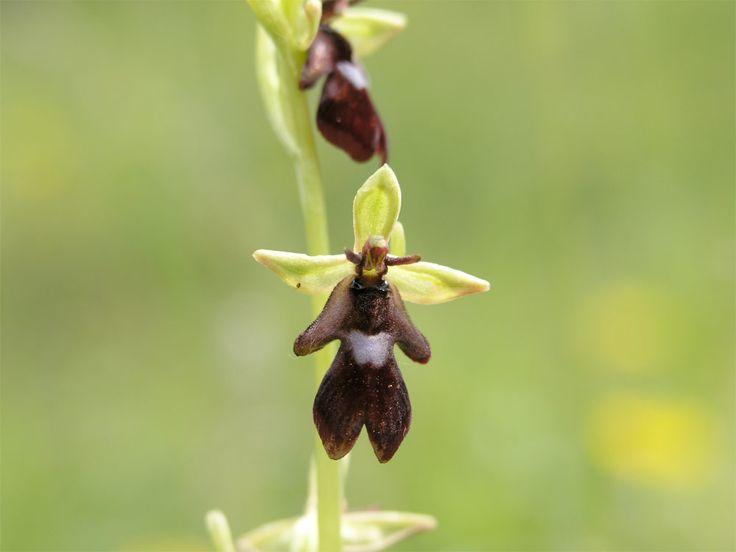 Pecteilis Radiata Orchid   10 vackra blommor – kika närmare och häpna över naturens verk
