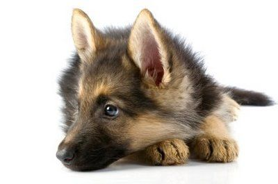 German Shepherd Dog - Raising & Training German Shepherd Puppies, German Shepherds Info: How to Train German Shepherd Dogs