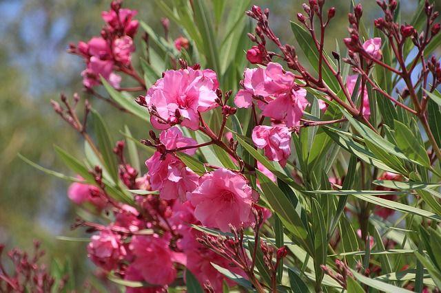 Adelfa: los cuidados imprescindibles de esta planta para el jardín. Algunas recomendaciones básicas para el cultivo de las adelfas en casa.