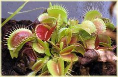 Plantas Carnivoras: Dionaea, cuidados básicos - experiencia                                                                                                                                                                                 Más
