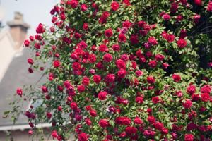 Here's a quick reader tip for creating great (and easy) natural compost that rose bushes love. From MOTHER EARTH NEWS magazine.