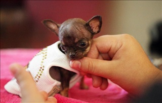 Worlds Smallest dog and is from Puerto Rico!! :)