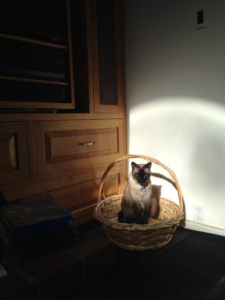 My Maximus Aurelius Kitten!  ;D  >^..^<  ❤️