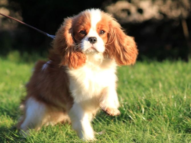 1000+ ideas about Cavalier King Charles on Pinterest