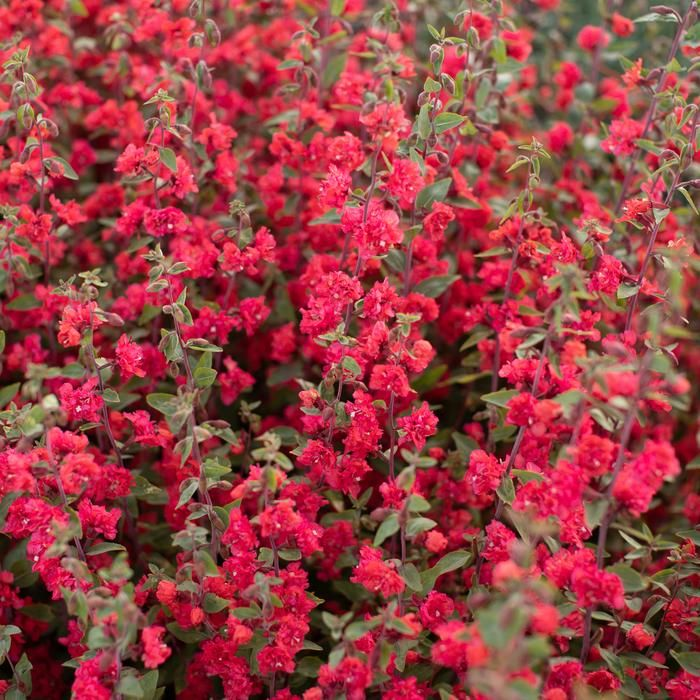 Clarkia Tower Coral Showy Flowers Plants Coral Flowers
