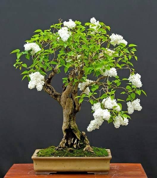 Syringa (Lilac) Bonsai Tree
