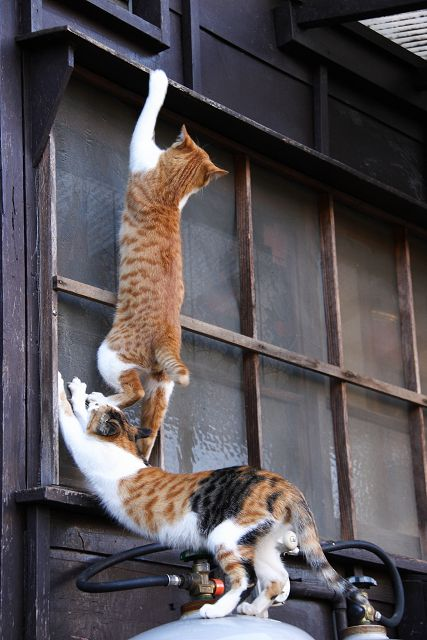 wolvenrevelation:    team-work?: Cats, Teamwork, Animals, Friends, Funny Cats, Pet, Crazy Cat, Chat, Team Work