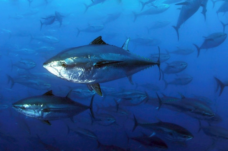 159 best images about tuna fish on pinterest fishing for Blue fin fish