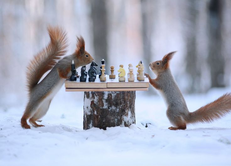 These two red squirrels are going nuts for a game of chess as they compete in a serious tournament in the snow. Description from chinadaily.com.cn. I searched for this on bing.com/images