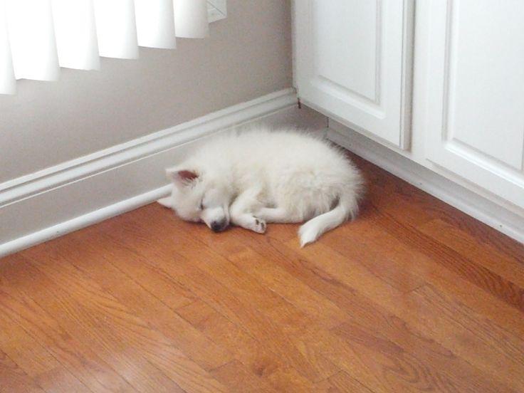 sleeping American Eskimo puppy
