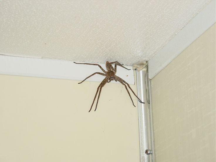 australian spiders | Allah sent giant spiders to help iraqi insurgency