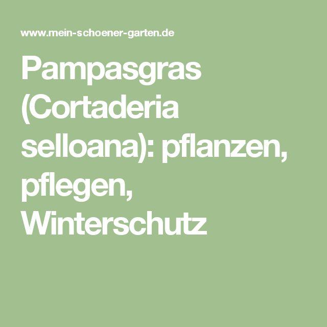Pampasgras (Cortaderia selloana): pflanzen, pflegen, Winterschutz