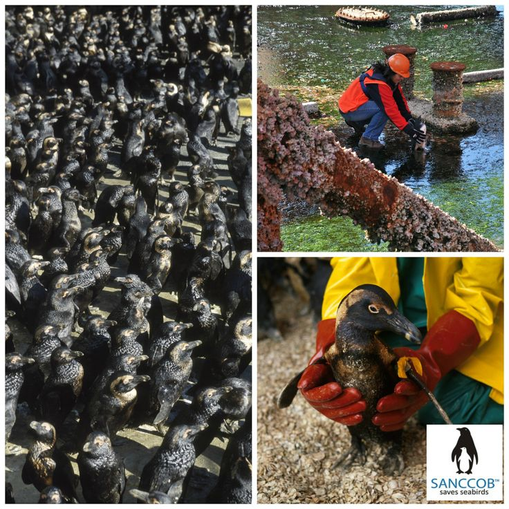 Treasure Oil Spill 2000 - SANCCOB rescued 20,000 oiled African Penguins