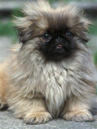 He looks a lot like my Pekingese. Adorable! ♥