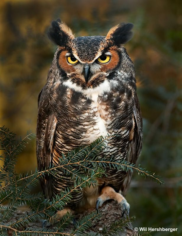 Google Image Result for http://www.musicofnature.org/home/wp-content/uploads/great_horned_owl_big.jpg