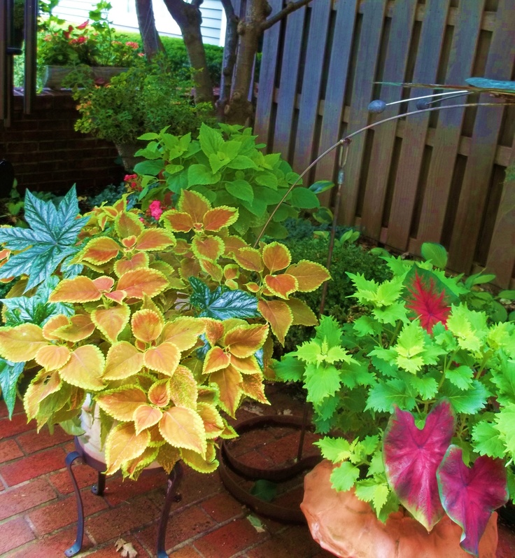 Coleus, Begonia's,and CaladiumsBegoniasand Caladium, Eecummings Gardendesign