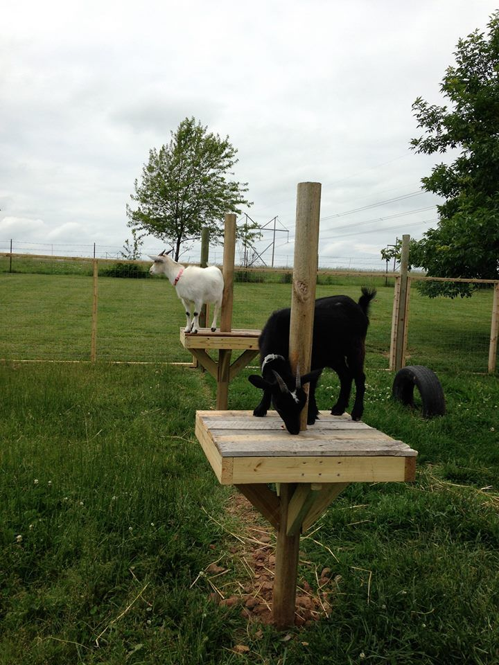 """So """"THEY"""" say, that if you give goats things to do and play with then goats won't get bored and try to escape."""" Not exactly sure who """"THEY"""" are, but """"THEY&…"""