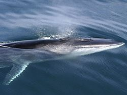 LMazzuca Fin Whale - Fin whale - Wikipedia, the free encyclopedia