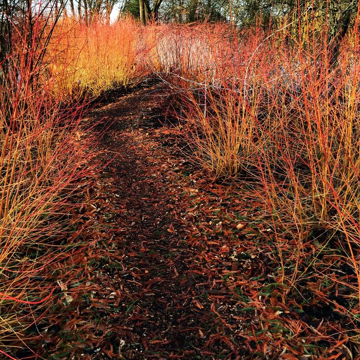 Colourful cornus at #rhswisley #winter #WinterColour #wisley