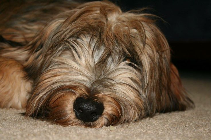 Meet Wyatt! He is a Whoodle (Wheaton Terrier & Poodle mix). He loves to eat couches and cuddle. -Bailey
