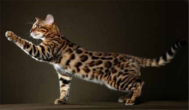 30 Fabulous Bengal Cat Photos That Look Like Tigers Cats