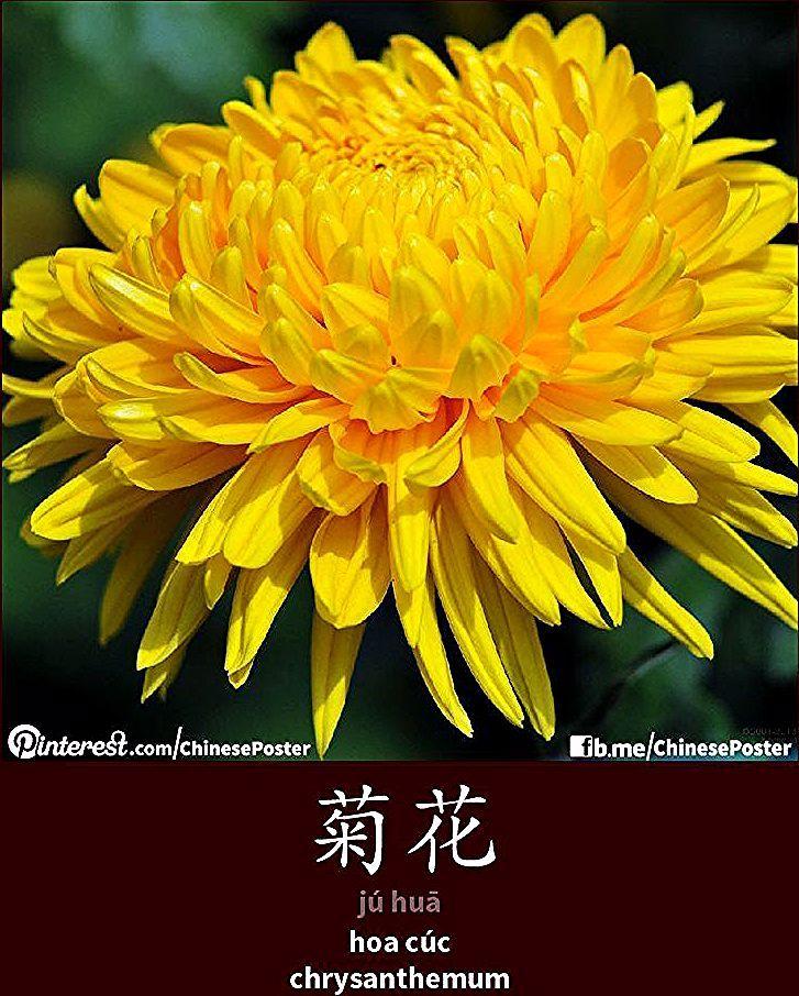菊花 Juhua Hoa Cuc Chrysanthemum Chrysanthemum Cuc Hoa Juhua 菊花 In 2020 Chrysanthemum Flower Garden Flowers