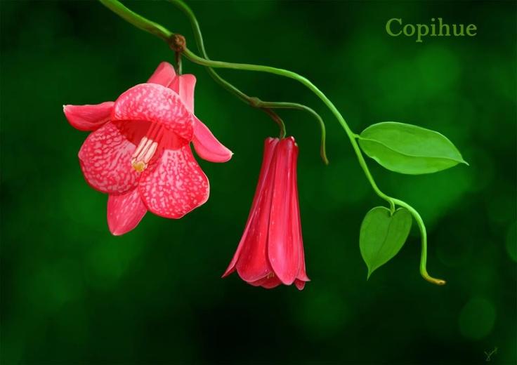 """.El copihue es una enredadera chilena que puede encontrarse desde Valparaíso a Temuco. Su nombre común procede de la palabra mapuche kopiw o kopiwe, que es más bien una referencia a su fruto comestible y que los occidentales conocen como """"pepino"""". La flor del copihue se caracteriza por su hermoso color rojo o blanco y en la cultura araucana es conocida como kodkülla."""