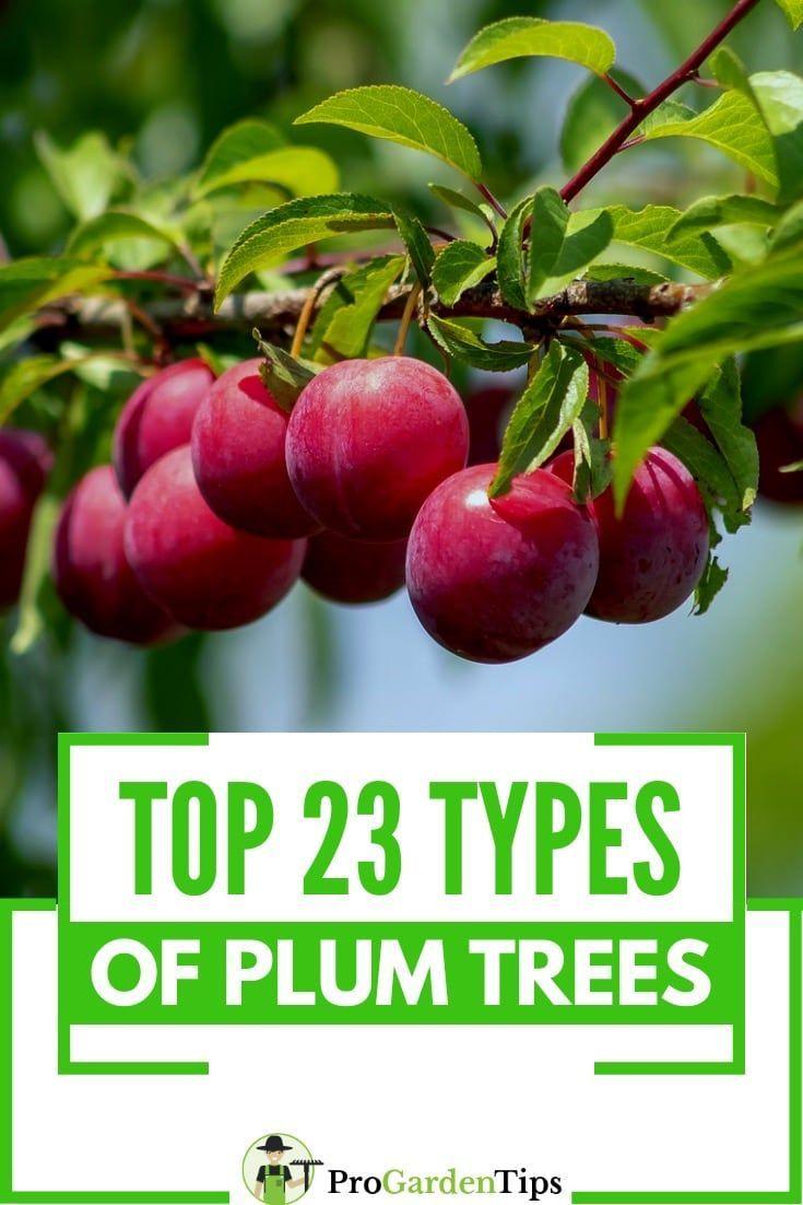 Top 23 Best Types Of Plum Trees Plum Tree Types Of Plums Japanese Plum Tree