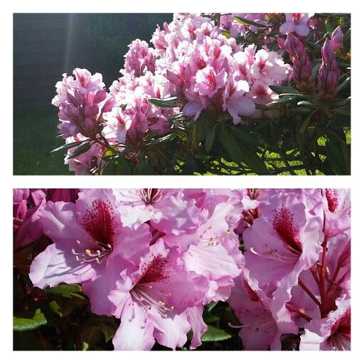 Rhododendron i full blomst 9.6