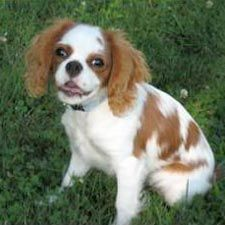 General info on Cavalier King Charles Spaniels