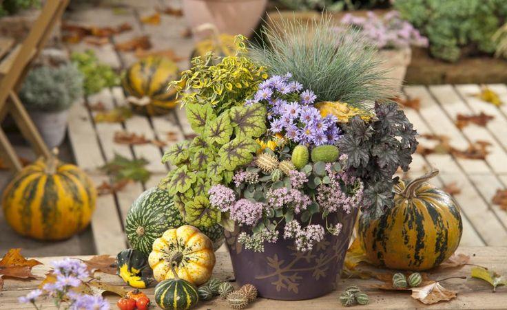 Herbstlicher Mix aus Kürbissen,Purpurglöckchen (Heuchera), Astern, Fetthenne (Sedum) und Gräsern