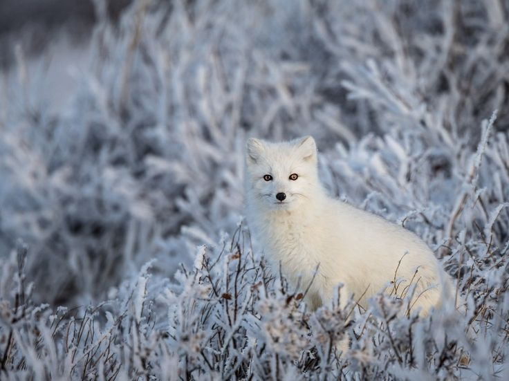 An arctic fox blends into the frosty landscape of Churchill, Manitoba, Canada. [Photo by Manon Moulis]