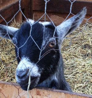 Minimum requirements & suggestions for readying your yard for keeping a goats