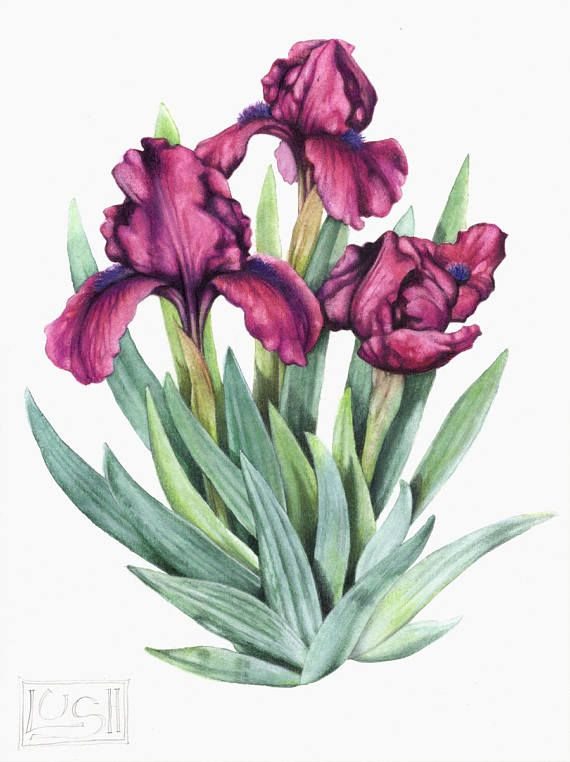 Aquarelle De Iris Peinture Originale Fleurs Pourpres Art