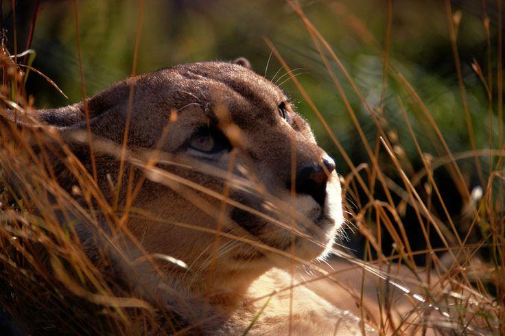 Puma, Foto del giorno - NatGeoFan