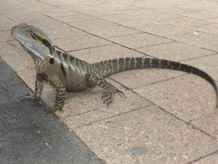 #Lizard #Saurian #Australia