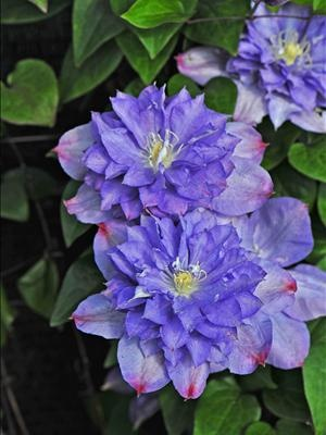 blue explosion clematis vine the old wood produces big semidouble blooms of blue with touches of hot pink on the tips in early summer