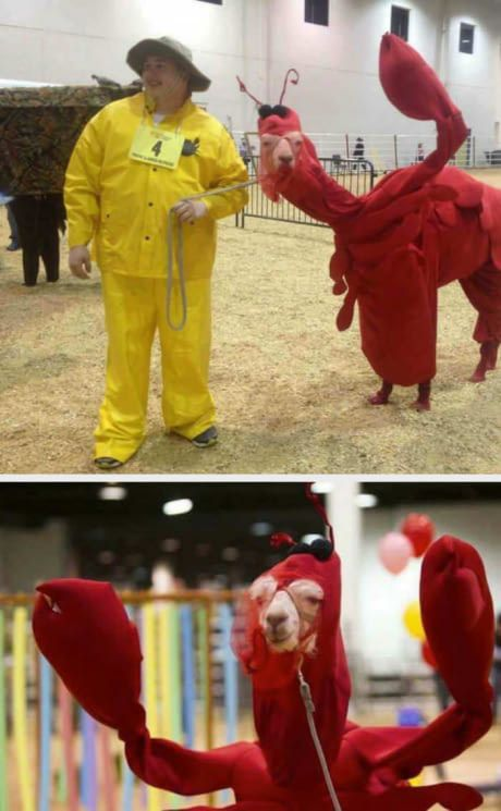 A llama in a lobster costume