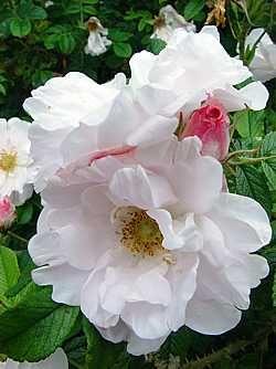Henry Hudson Härdiga kanadensiska rosor
