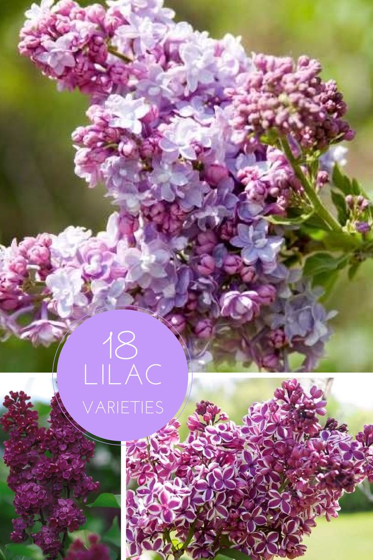 18 Vibrant, Fragrant Lilac Varieties --> http://www.hgtvgardens.com/shrubs/lilacs-are-fabulous-and-fragrant-18-varieties?soc=pinterest